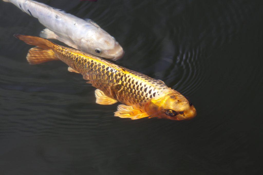 Goldener Fisch auf goldenerfisch.at